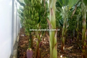 Banana Production Greenhouse Installation