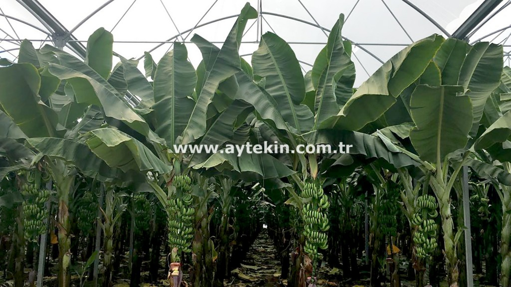 Cost of Banana Greenhouse